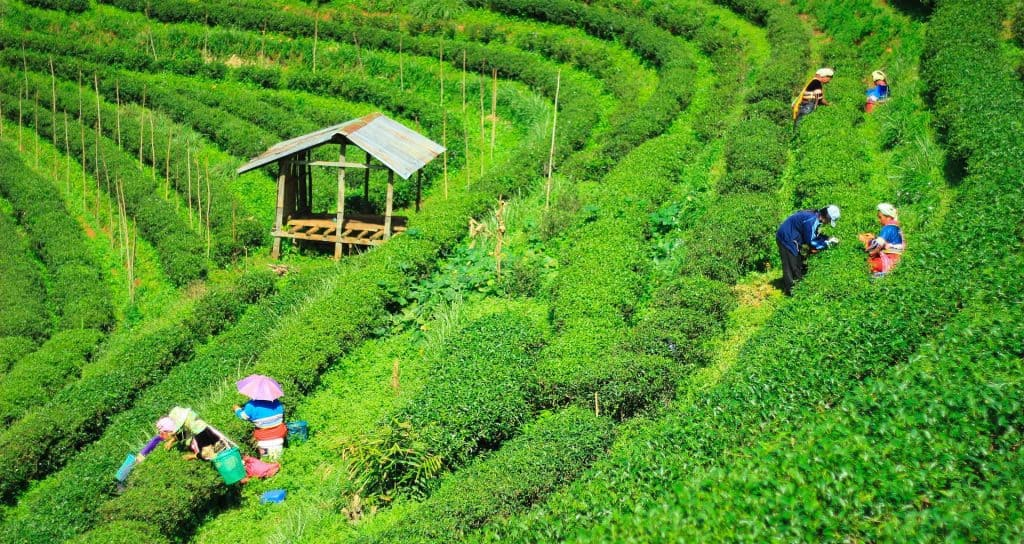 Growing tea for manufacture
