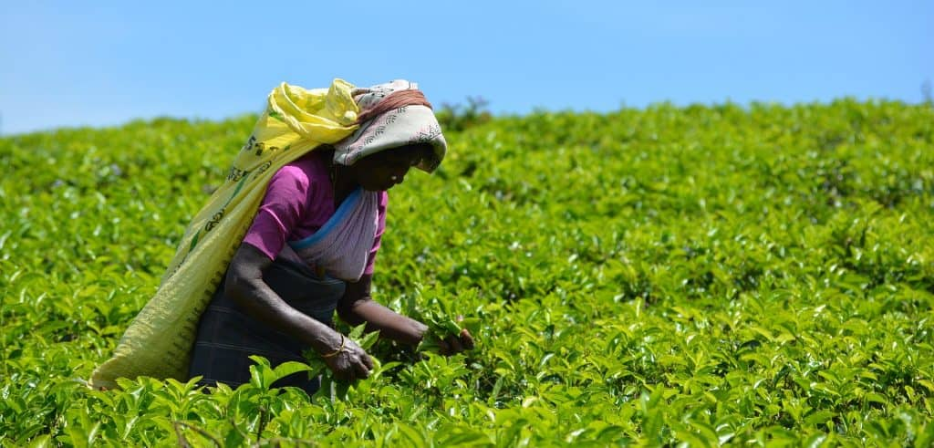 Hand-picking tea leaves in India
