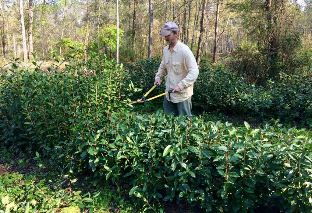 Pruning a hedge of Camellia tea