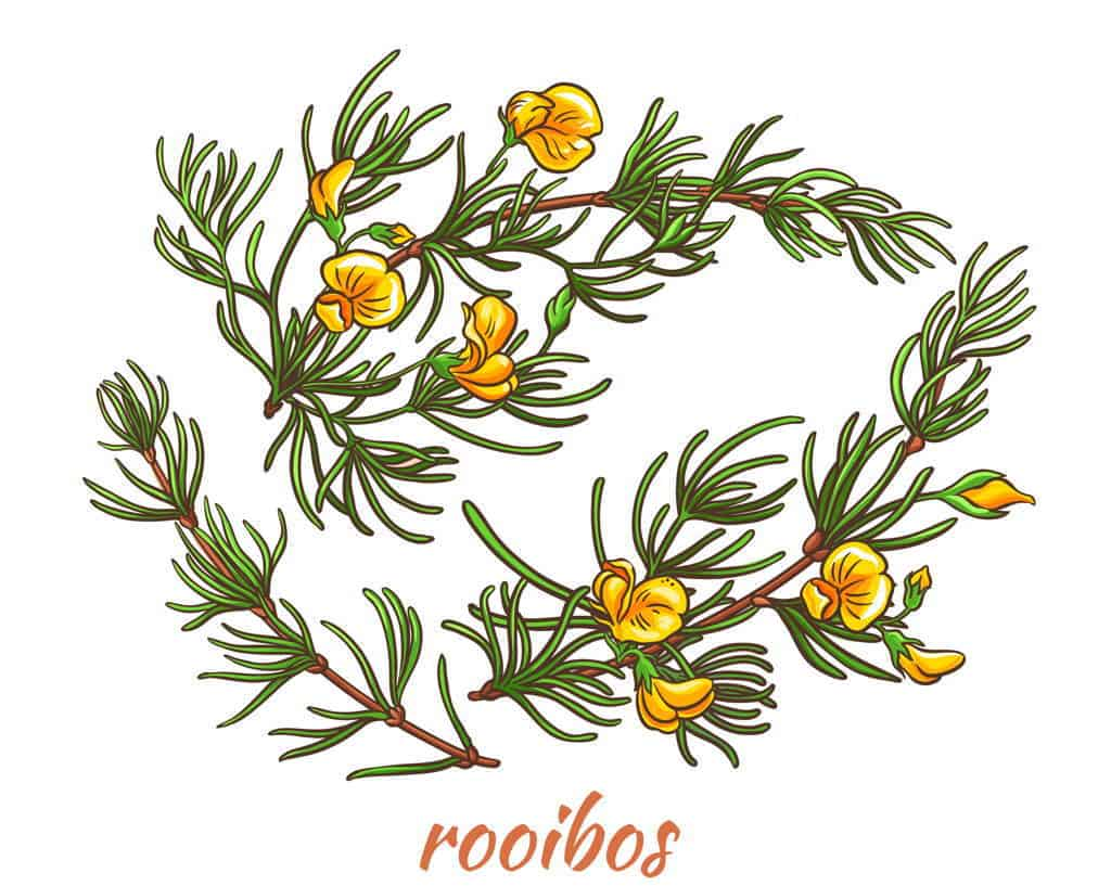 rooibos plant and flowers are substitute for coffee