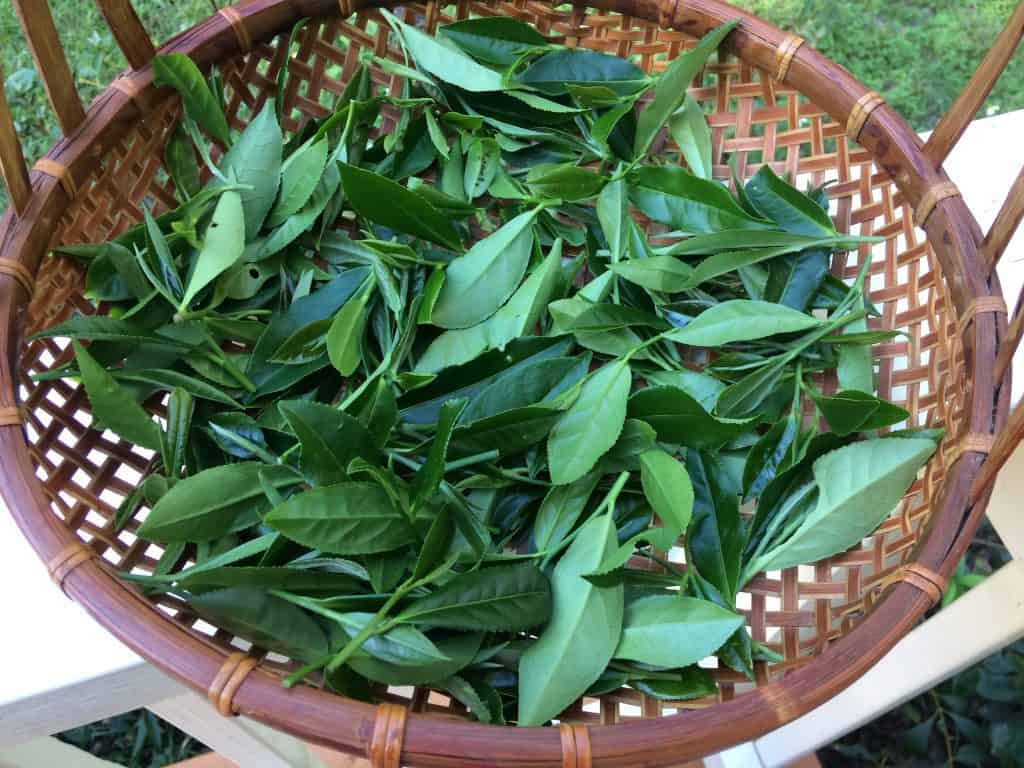 tea leaf at home garden plucked from tea plants
