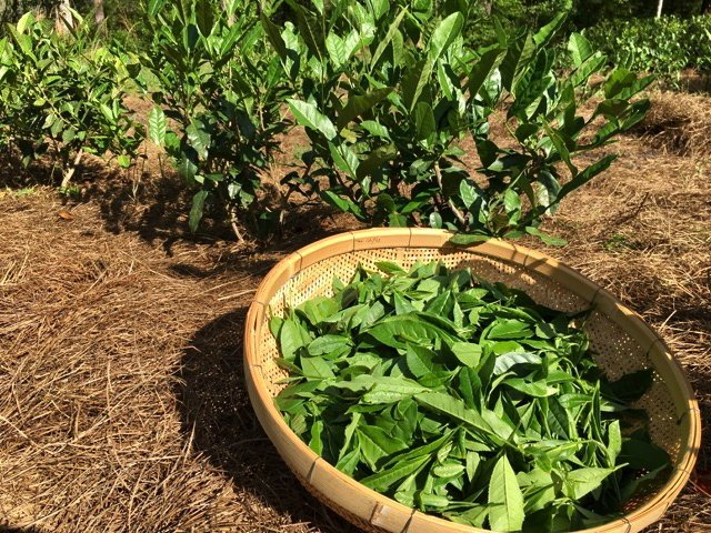 tea leaves harvested in the US